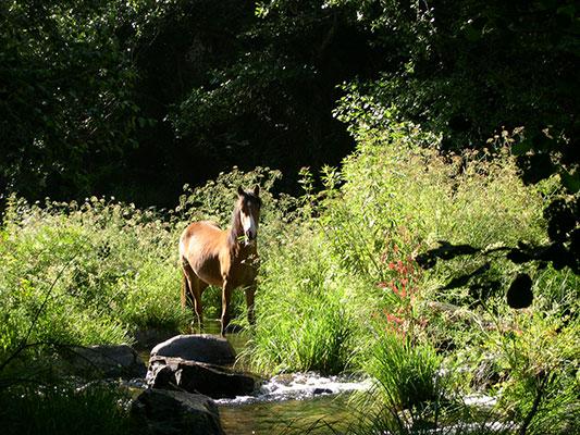 caballo en los oscos